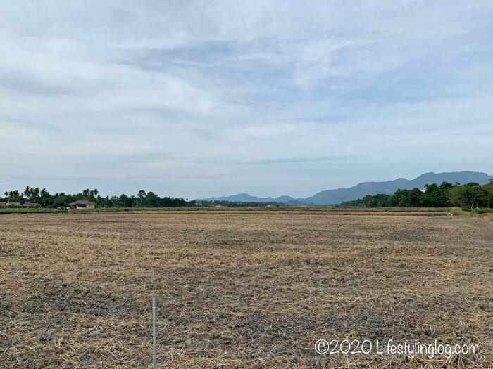 ペナン島のBalik Pulauにある田んぼ