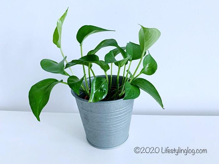 IKEAの観葉植物