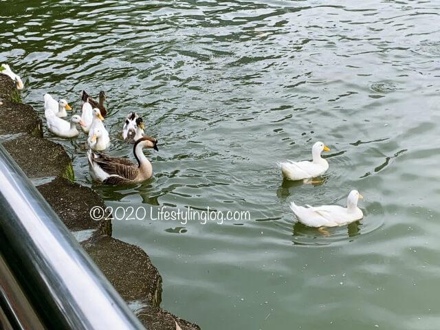 クアラルンプールのボタニカルガーデンの湖で泳ぐ鳥