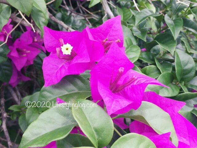 ペルダナ植物園に咲いている花