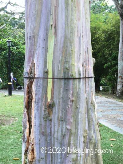 ペルダナ植物園にあるPokok Pelangi(Rainbow Eucalyptus)