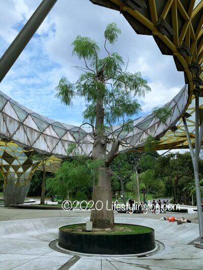 ペルダナ植物園に生えているバオバブの木