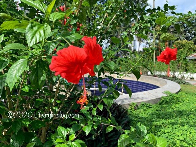 ペルダナ植物園のハイビスカスガーデンに咲いているハイビスカスの花