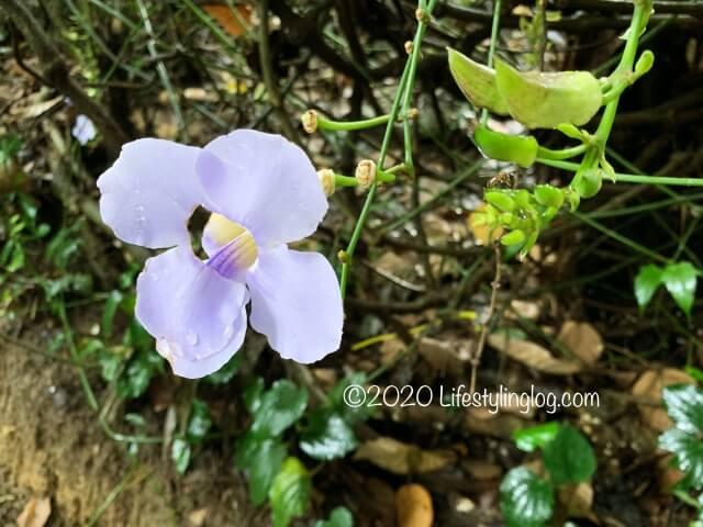 Taman TuguのNursery Trailsに咲いている花