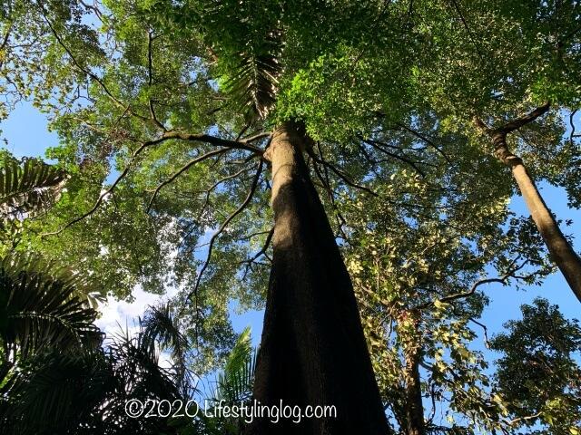 Taman Tuguにある大木