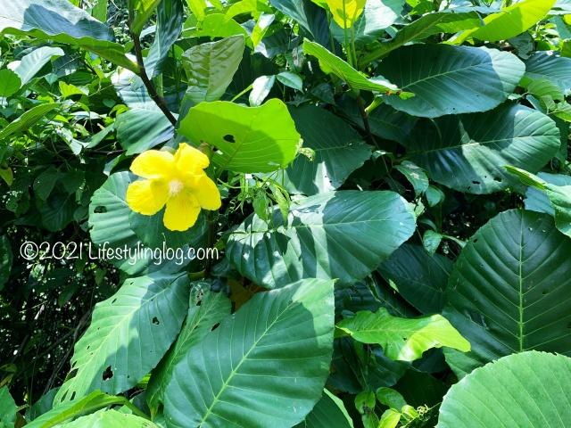 Dillenia suffruticosa(Simpoh Air)の花と葉