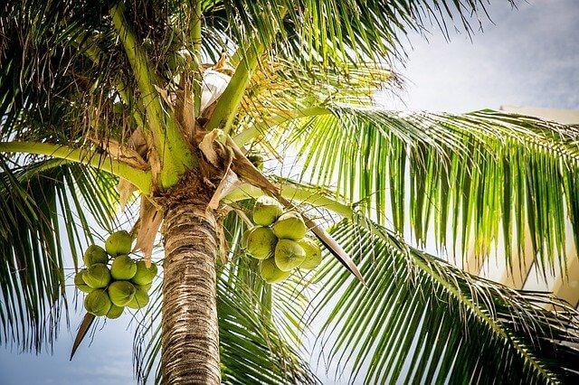ココナッツパームツリー(椰子の木)
