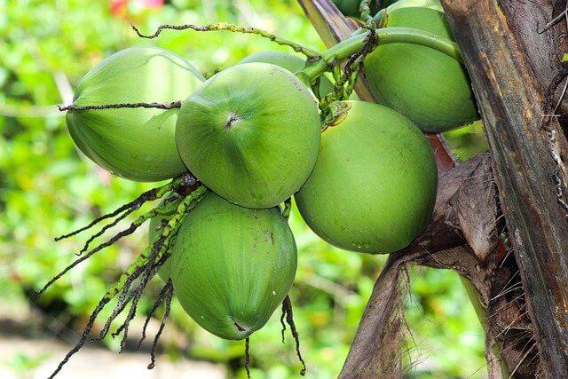 緑色をした未成熟のココナッツ